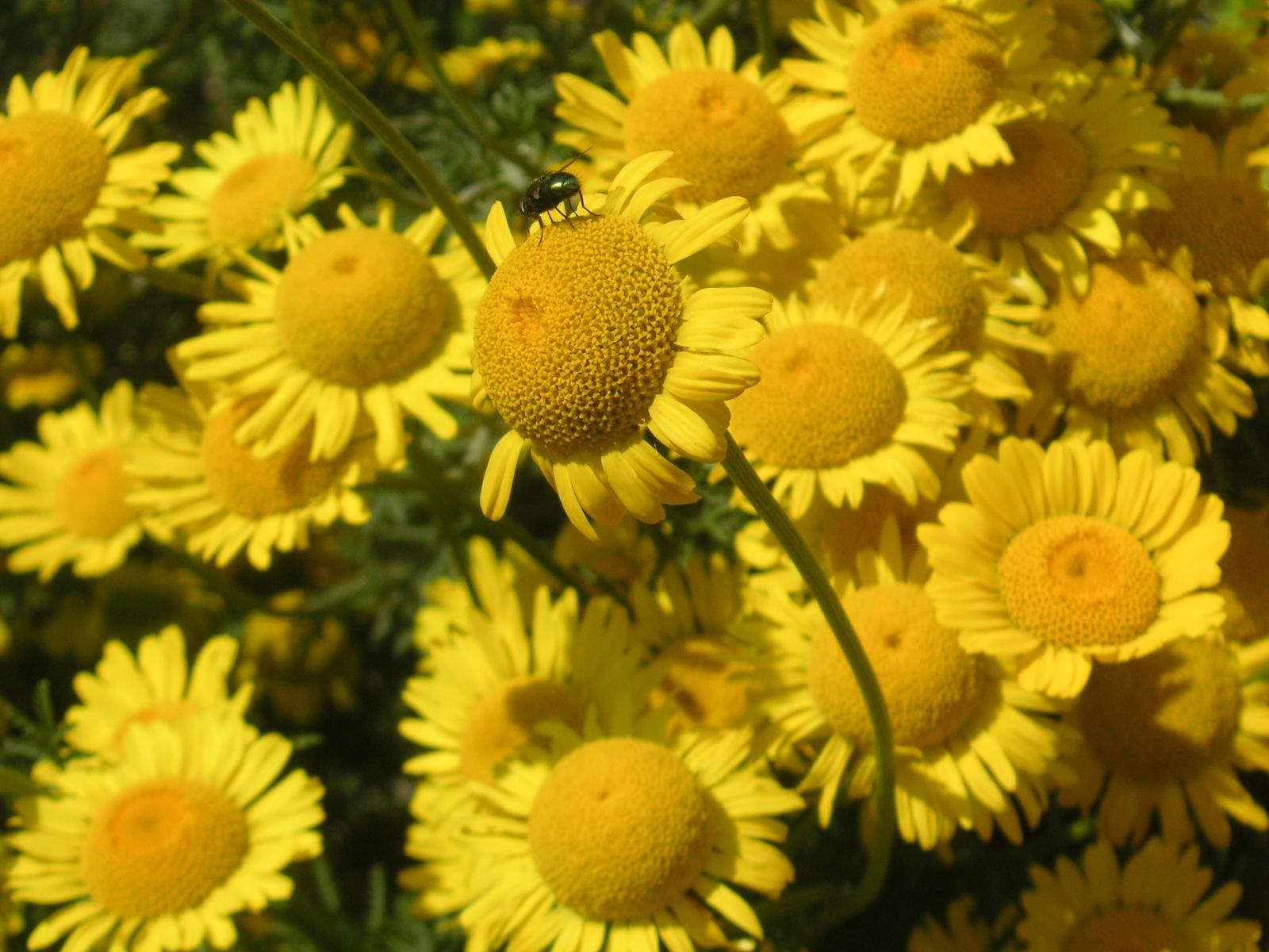 margeriten gelbe blätter